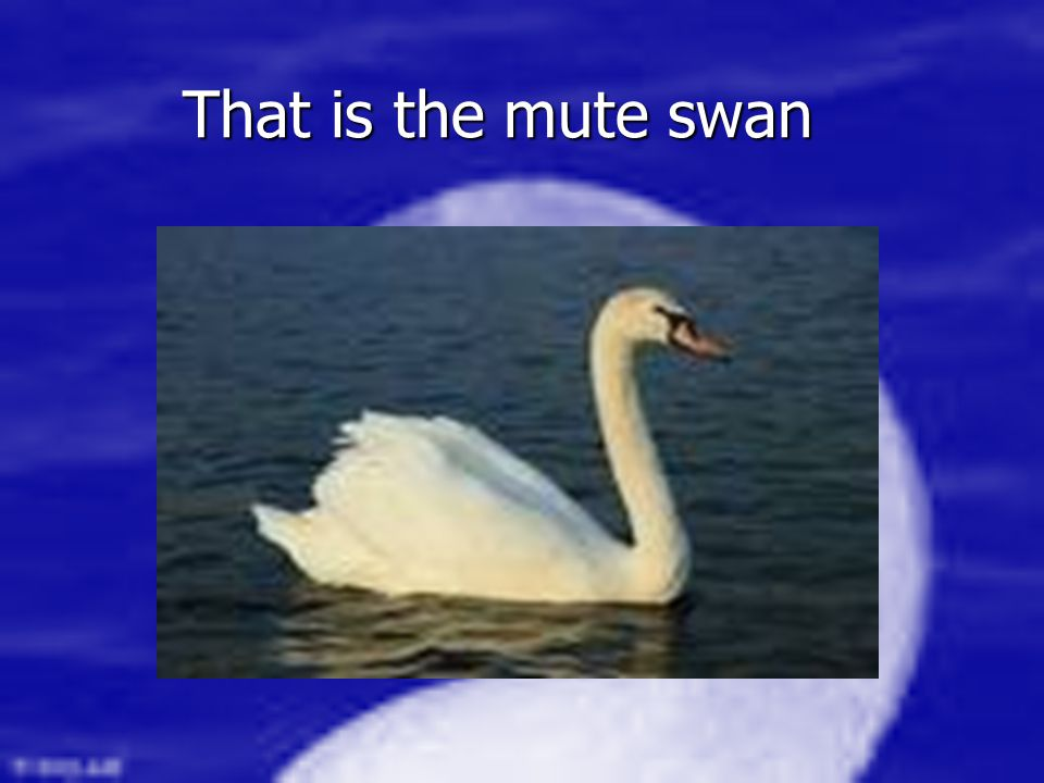 That is the mute swan Such a beautiful mute swan Such a beautiful mute swan