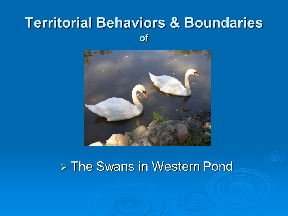 Territorial Behaviors & Boundaries of  The Swans in Western Pond