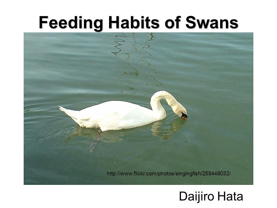 Daijiro Hata Feeding Habits of Swans http://www.flickr.com/photos/singingfish/259448032/