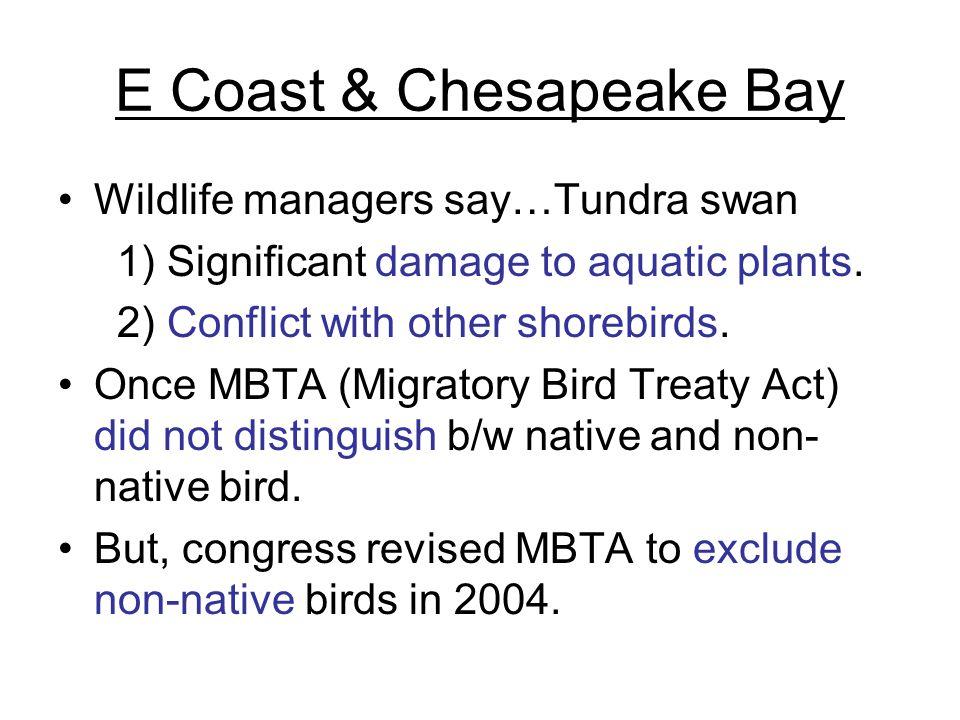 E Coast & Chesapeake Bay Wildlife managers say…Tundra swan 1) Significant damage to aquatic plants.