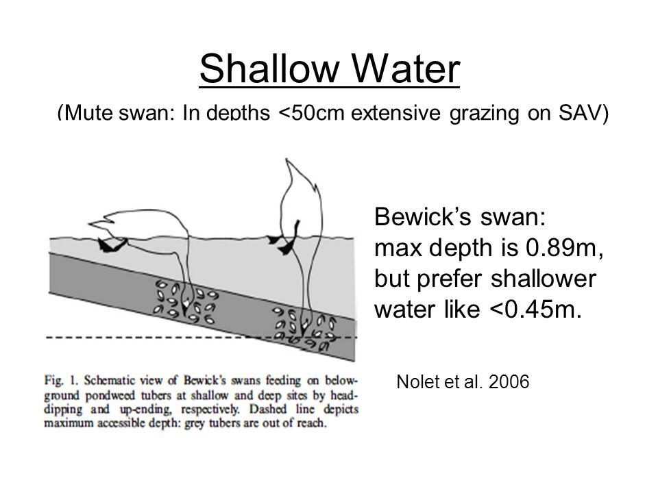 Shallow Water (Mute swan: In depths <50cm extensive grazing on SAV) Nolet et al.