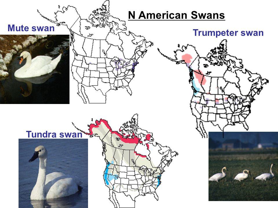 Mute swan Tundra swan Trumpeter swan N American Swans