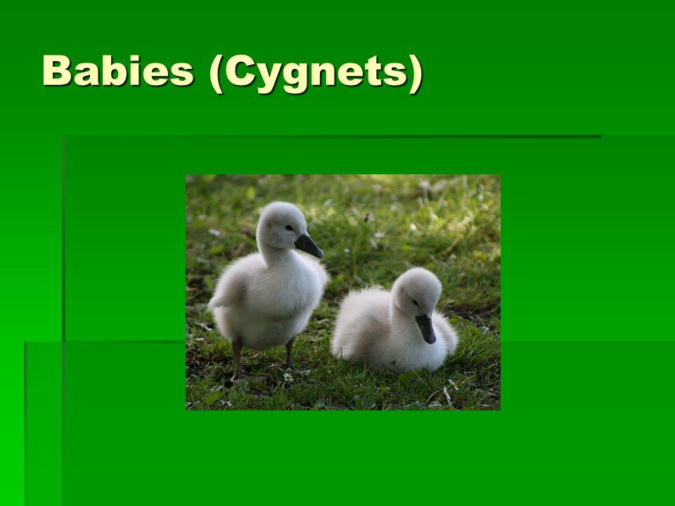 Babies (Cygnets)