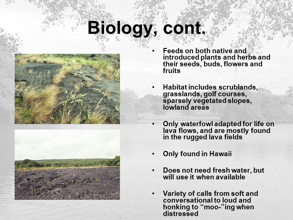 Biology, cont. Feeds on both native and introduced plants and herbs and their seeds, buds, flowers and fruits Habitat includes scrublands, grasslands,