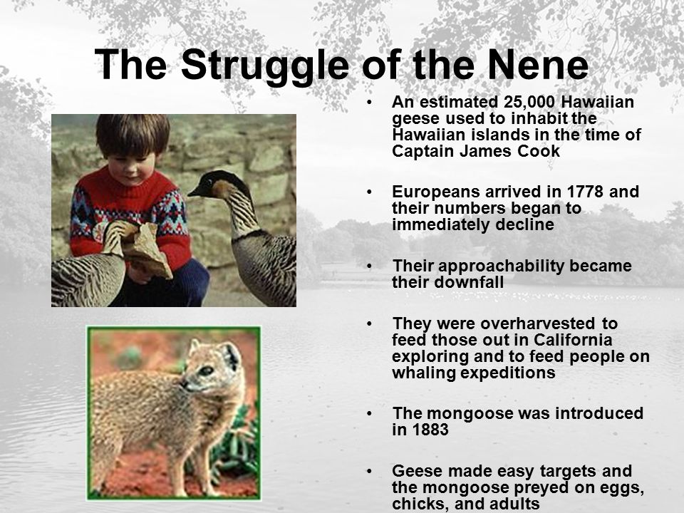 The Struggle of the Nene An estimated 25,000 Hawaiian geese used to inhabit the Hawaiian islands in the time of Captain James Cook Europeans arrived in 1778 and their numbers began to immediately decline Their approachability became their downfall They were overharvested to feed those out in California exploring and to feed people on whaling expeditions The mongoose was introduced in 1883 Geese made easy targets and the mongoose preyed on eggs, chicks, and adults