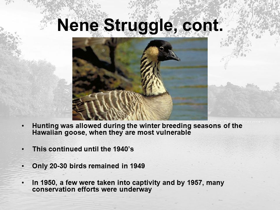 Nene Struggle, cont. Hunting was allowed during the winter breeding seasons of the Hawaiian goose, when they are most vulnerable This continued until