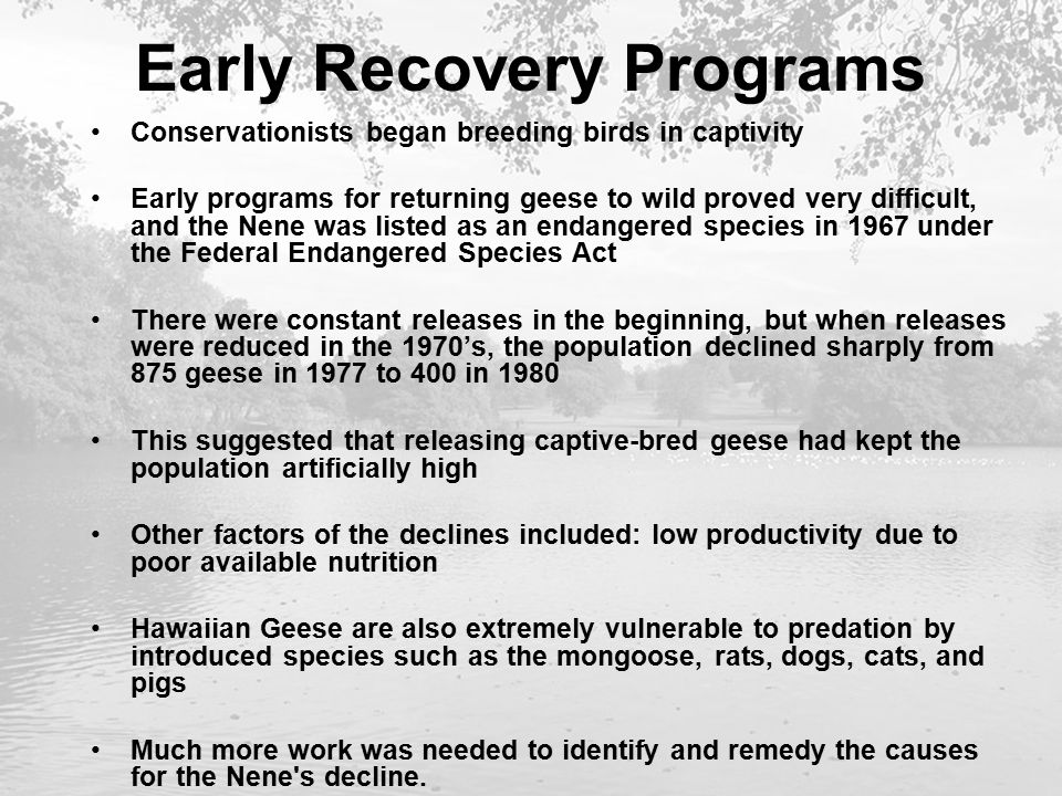 Early Recovery Programs Conservationists began breeding birds in captivity Early programs for returning geese to wild proved very difficult, and the Nene was listed as an endangered species in 1967 under the Federal Endangered Species Act There were constant releases in the beginning, but when releases were reduced in the 1970's, the population declined sharply from 875 geese in 1977 to 400 in 1980 This suggested that releasing captive-bred geese had kept the population artificially high Other factors of the declines included: low productivity due to poor available nutrition Hawaiian Geese are also extremely vulnerable to predation by introduced species such as the mongoose, rats, dogs, cats, and pigs Much more work was needed to identify and remedy the causes for the Nene s decline.