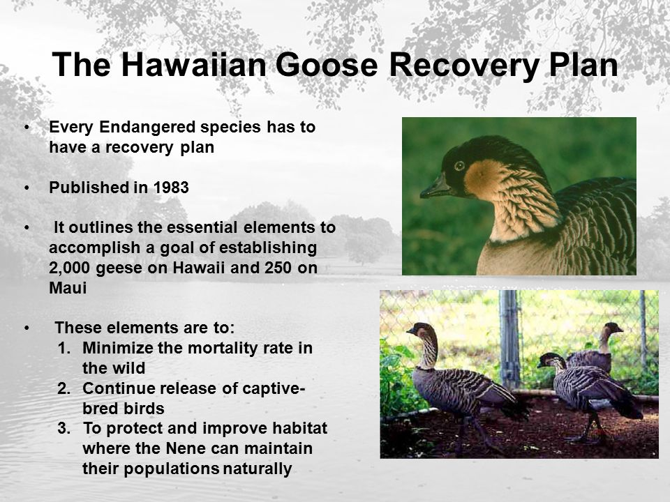 The Hawaiian Goose Recovery Plan Every Endangered species has to have a recovery plan Published in 1983 It outlines the essential elements to accomplish a goal of establishing 2,000 geese on Hawaii and 250 on Maui These elements are to: 1.Minimize the mortality rate in the wild 2.Continue release of captive- bred birds 3.To protect and improve habitat where the Nene can maintain their populations naturally
