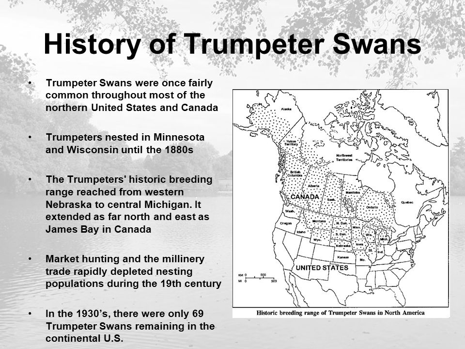 History of Trumpeter Swans Trumpeter Swans were once fairly common throughout most of the northern United States and Canada Trumpeters nested in Minnesota and Wisconsin until the 1880s The Trumpeters historic breeding range reached from western Nebraska to central Michigan.