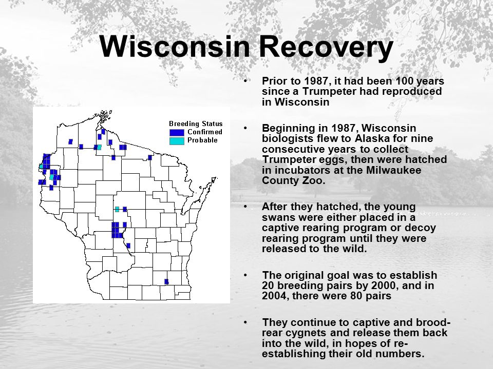 Wisconsin Recovery Prior to 1987, it had been 100 years since a Trumpeter had reproduced in Wisconsin Beginning in 1987, Wisconsin biologists flew to Alaska for nine consecutive years to collect Trumpeter eggs, then were hatched in incubators at the Milwaukee County Zoo.