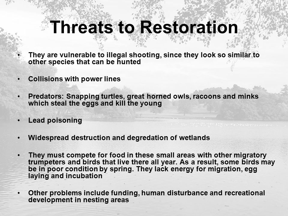 Threats to Restoration They are vulnerable to illegal shooting, since they look so similar to other species that can be hunted Collisions with power lines Predators: Snapping turtles, great horned owls, racoons and minks which steal the eggs and kill the young Lead poisoning Widespread destruction and degredation of wetlands They must compete for food in these small areas with other migratory trumpeters and birds that live there all year.