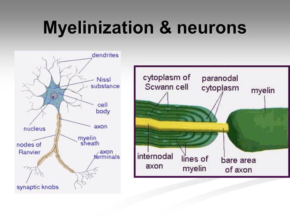 Myelinization & neurons