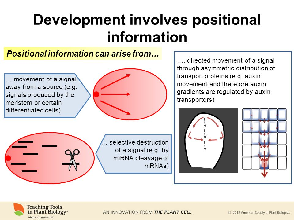 Development involves positional information …. directed movement of a signal through asymmetric distribution of transport proteins (e.g. auxin movemen