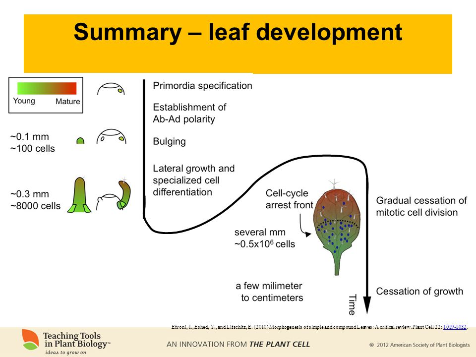 Summary – leaf development Efroni, I., Eshed, Y., and Lifschitz, E. (2010) Morphogenesis of simple and compound Leaves: A critical review. Plant Cell