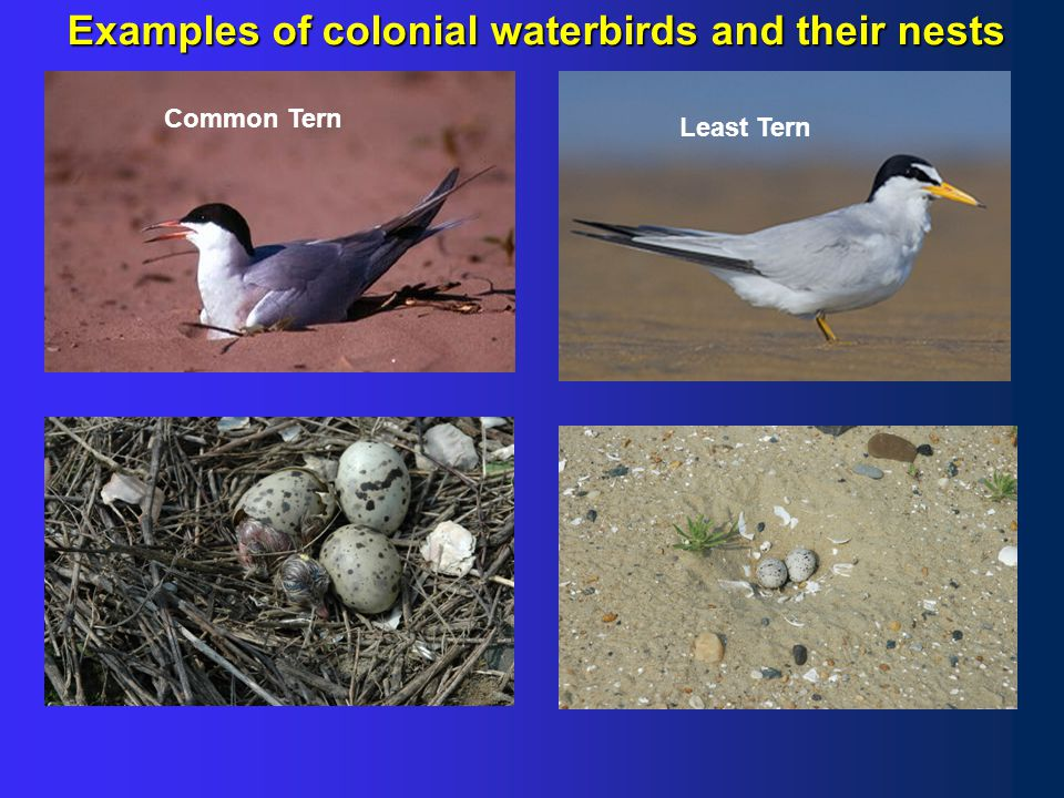 Examples of colonial waterbirds and their nests Herring GullGreat Black-back Gull