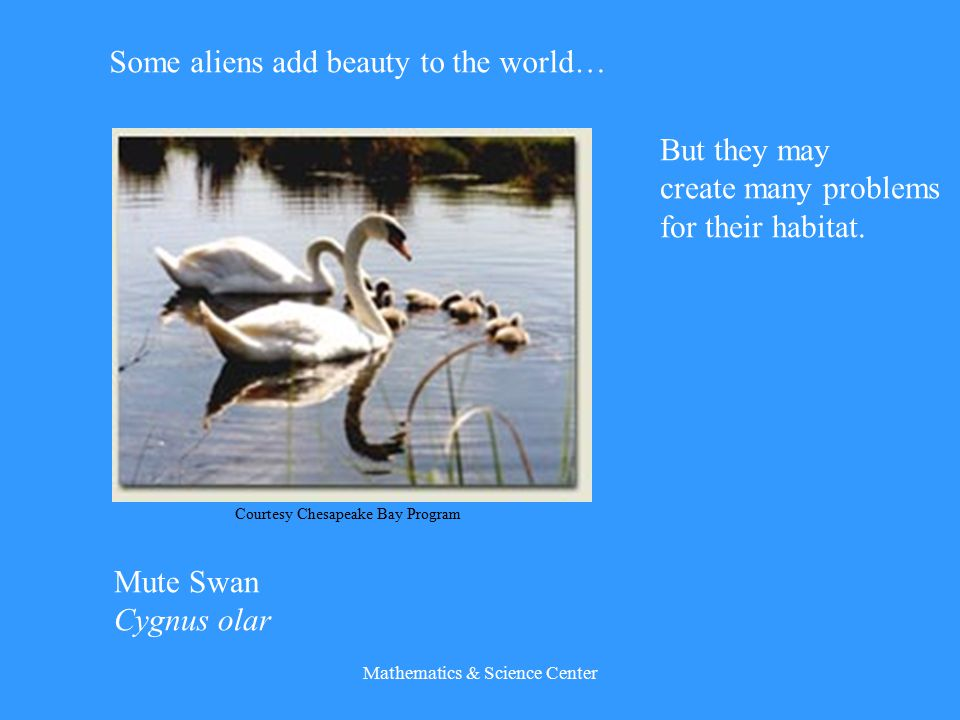 Mathematics & Science Center Some aliens add beauty to the world… Mute Swan Cygnus olar Courtesy Chesapeake Bay Program