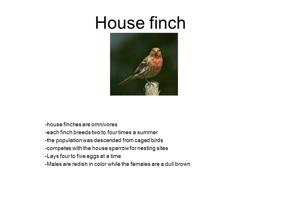 House finch -house finches are omnivores -each finch breeds two to four times a summer -the population was descended from caged birds -competes with the house sparrow for nesting sites -Lays four to five eggs at a time -Males are redish in color while the females are a dull brown
