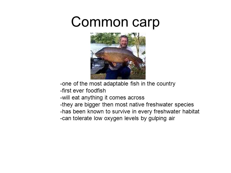 Common carp -one of the most adaptable fish in the country -first ever foodfish -will eat anything it comes across -they are bigger then most native freshwater species -has been known to survive in every freshwater habitat -can tolerate low oxygen levels by gulping air
