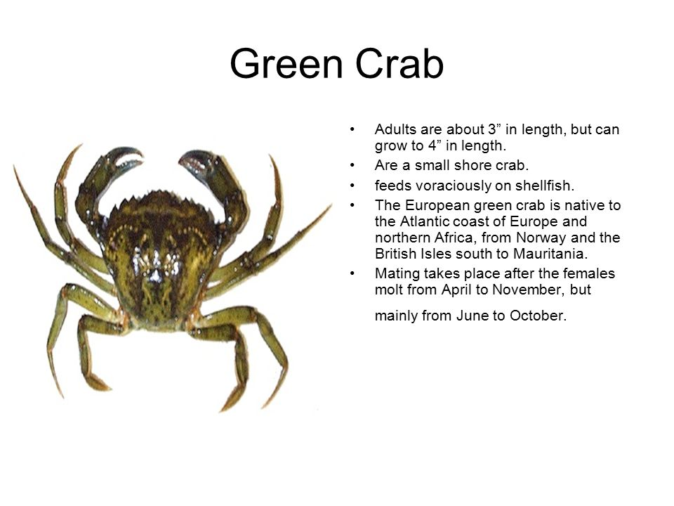 Green Crab Adults are about 3 in length, but can grow to 4 in length.