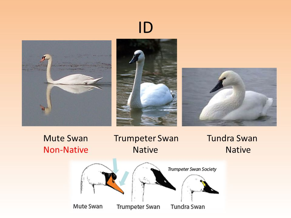 ID Mute Swan Trumpeter Swan Tundra Swan Non-Native Native Native
