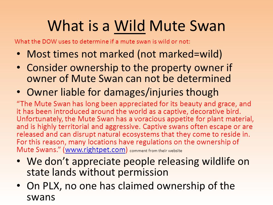 What is a Wild Mute Swan Most times not marked (not marked=wild) Consider ownership to the property owner if owner of Mute Swan can not be determined Owner liable for damages/injuries though The Mute Swan has long been appreciated for its beauty and grace, and it has been introduced around the world as a captive, decorative bird.