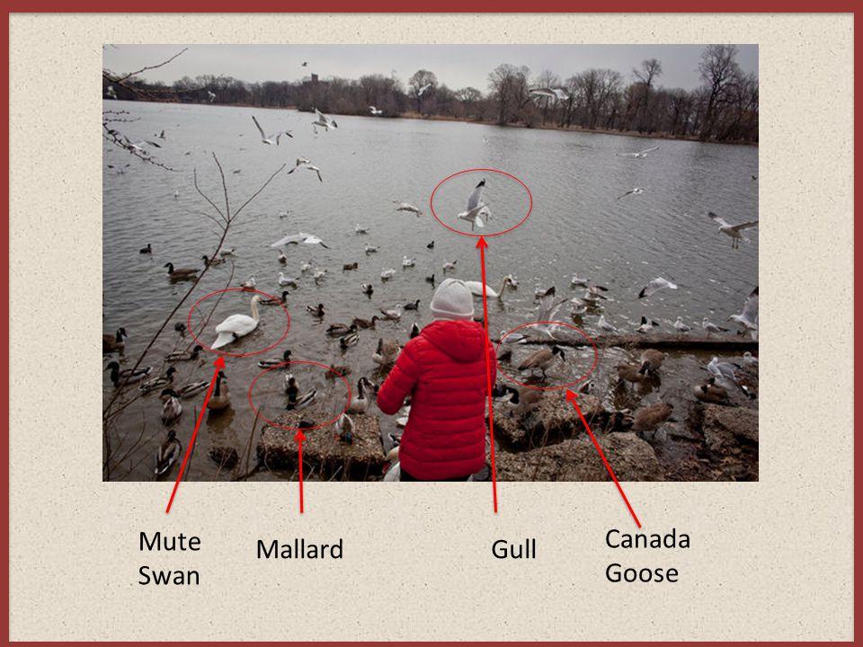 Mute Swan MallardGull Canada Goose