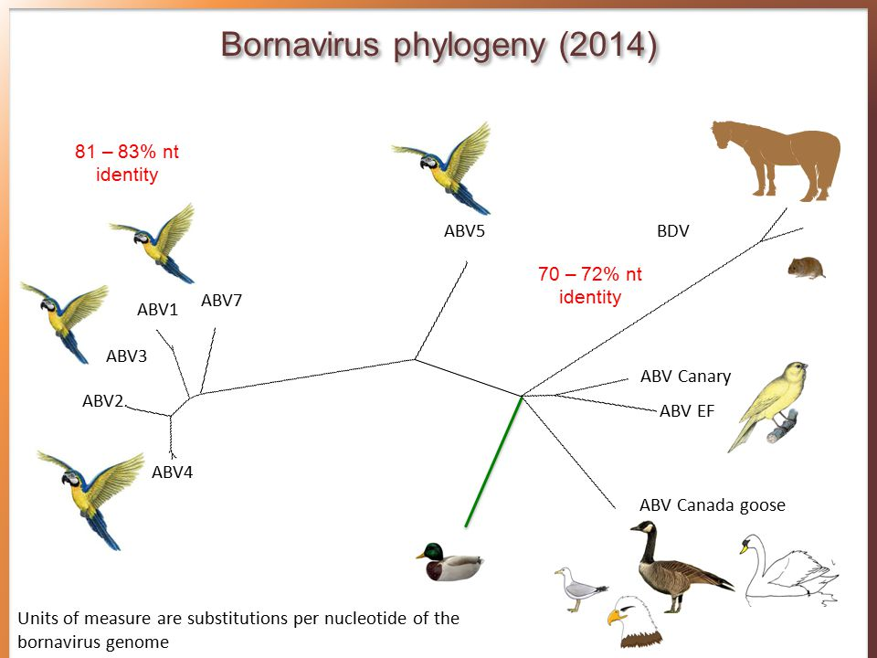 ABV1 ABV2 ABV3 ABV4 ABV5 ABV7 ABV Canada goose ABV Canary BDV ABV EF Units of measure are substitutions per nucleotide of the bornavirus genome Bornavirus phylogeny (2014) 81 – 83% nt identity 70 – 72% nt identity