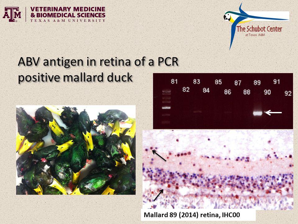 Mallard 89 (2014) retina, IHC00 ABV antigen in retina of a PCR positive mallard duck