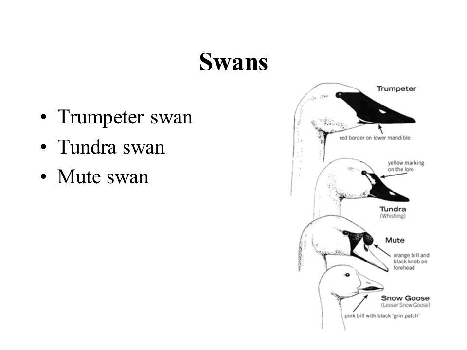 Swans Trumpeter swan Tundra swan Mute swan