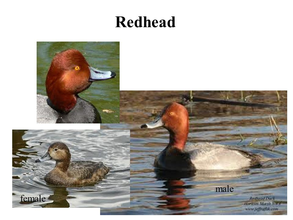 Redhead female male