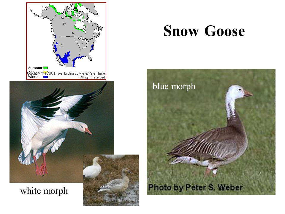 Snow Goose white morph blue morph