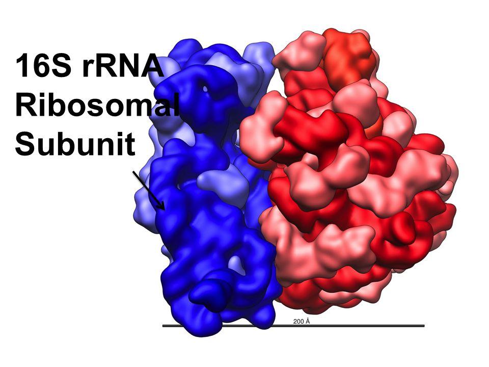 16S rRNA Ribosomal Subunit