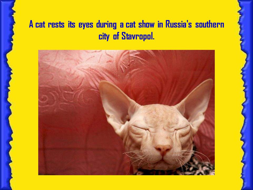 A cat rests its eyes during a cat show in Russia s southern city of Stavropol.