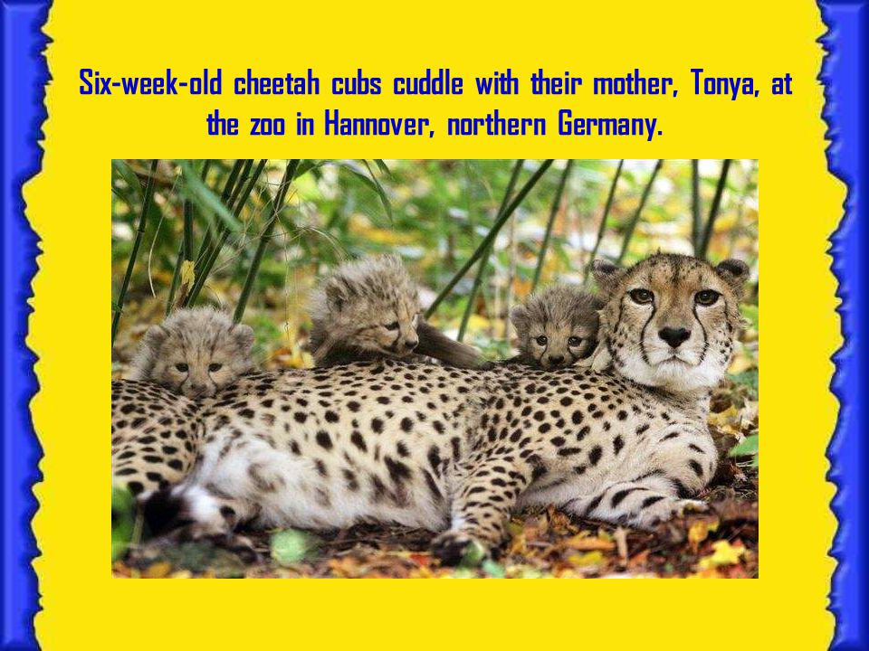Six-week-old cheetah cubs cuddle with their mother, Tonya, at the zoo in Hannover, northern Germany.