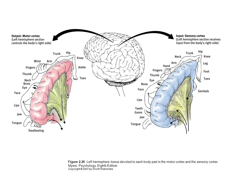 Figure 2.26 Left hemisphere tissue devoted to each body part in the motor cortex and the sensory cortex Myers: Psychology, Eighth Edition Copyright ©