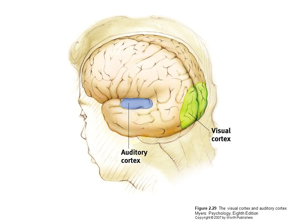 Figure 2.29 The visual cortex and auditory cortex Myers: Psychology, Eighth Edition Copyright © 2007 by Worth Publishers
