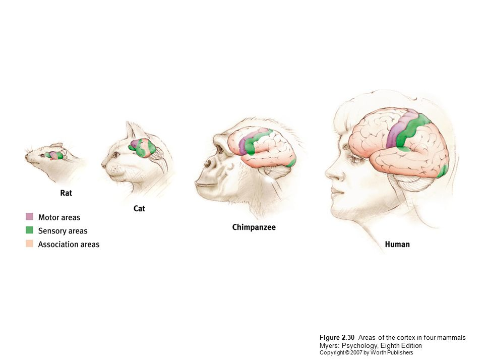 Figure 2.30 Areas of the cortex in four mammals Myers: Psychology, Eighth Edition Copyright © 2007 by Worth Publishers