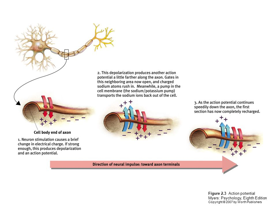 Figure 2.3 Action potential Myers: Psychology, Eighth Edition Copyright © 2007 by Worth Publishers