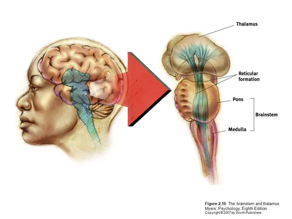 Figure 2.16 The brainstem and thalamus Myers: Psychology, Eighth Edition Copyright © 2007 by Worth Publishers