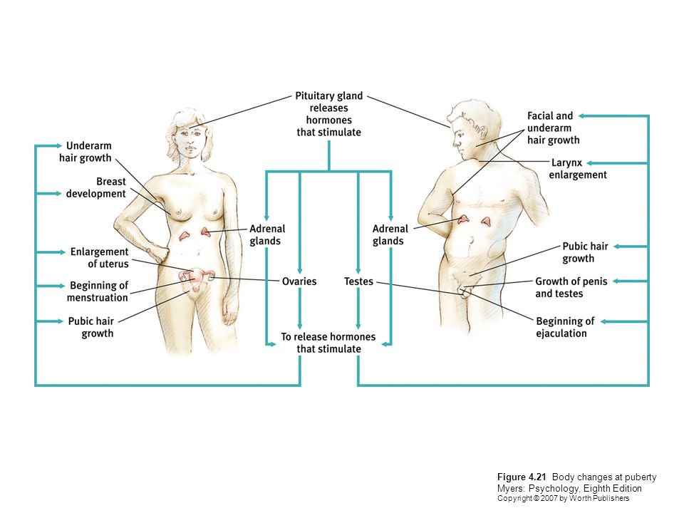 Figure 4.21 Body changes at puberty Myers: Psychology, Eighth Edition Copyright © 2007 by Worth Publishers