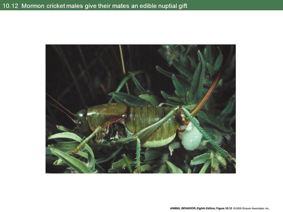 10.12 Mormon cricket males give their mates an edible nuptial gift