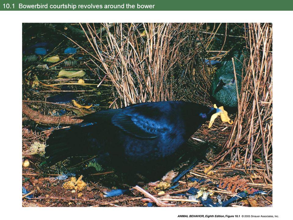 10.1 Bowerbird courtship revolves around the bower