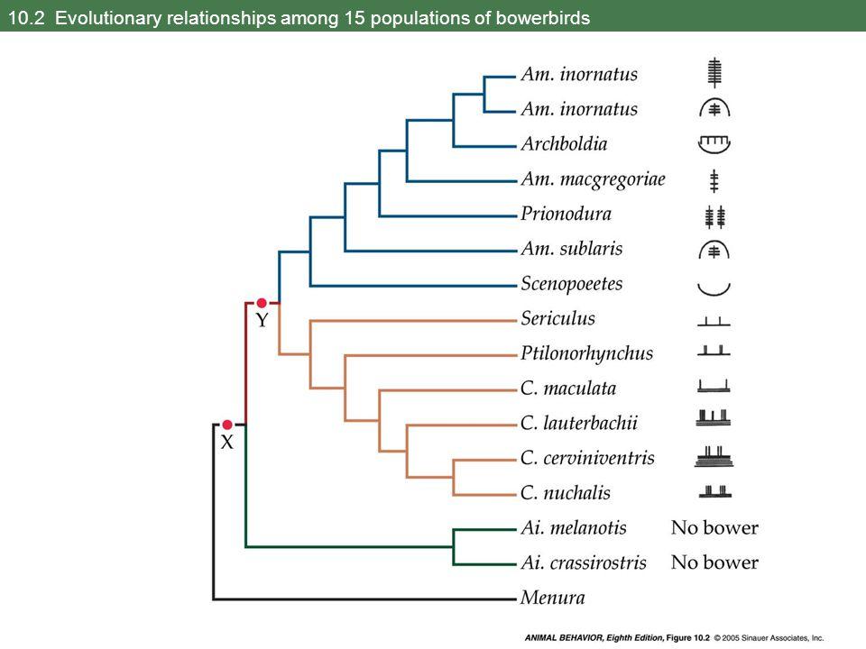 10.2 Evolutionary relationships among 15 populations of bowerbirds