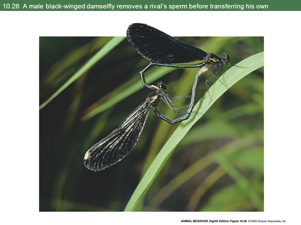 10.26 A male black-winged damselfly removes a rival's sperm before transferring his own