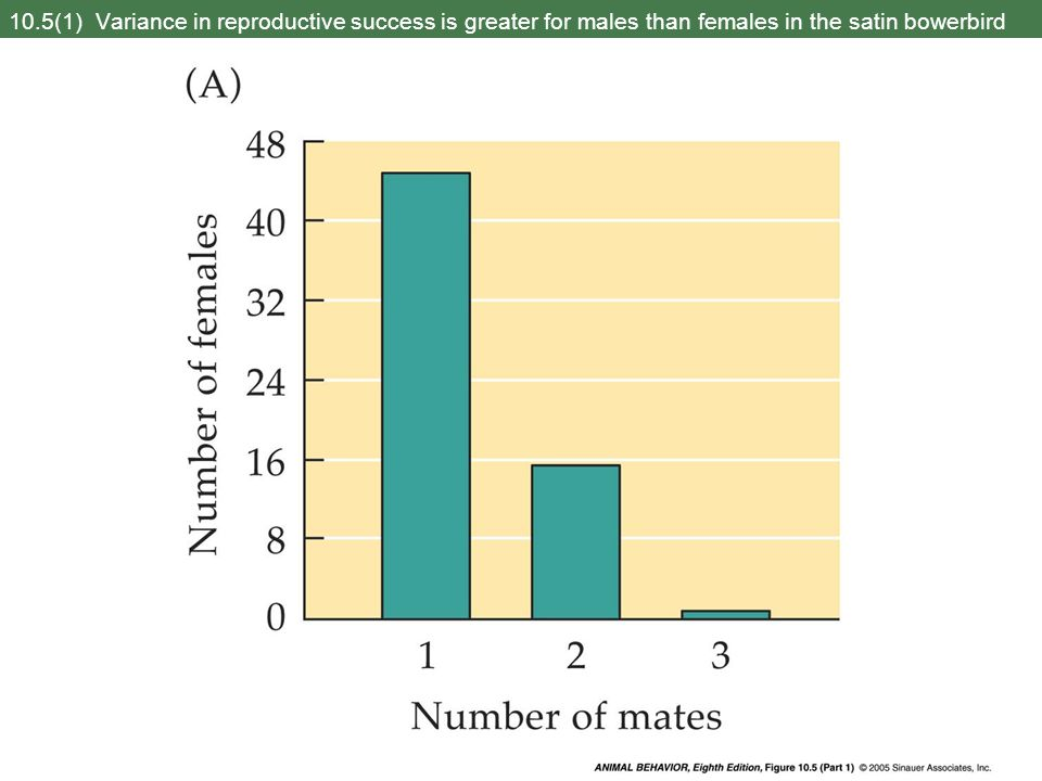 10.5(1) Variance in reproductive success is greater for males than females in the satin bowerbird