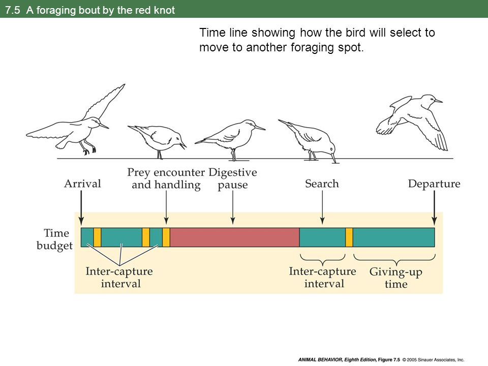 7.5 A foraging bout by the red knot Time line showing how the bird will select to move to another foraging spot.