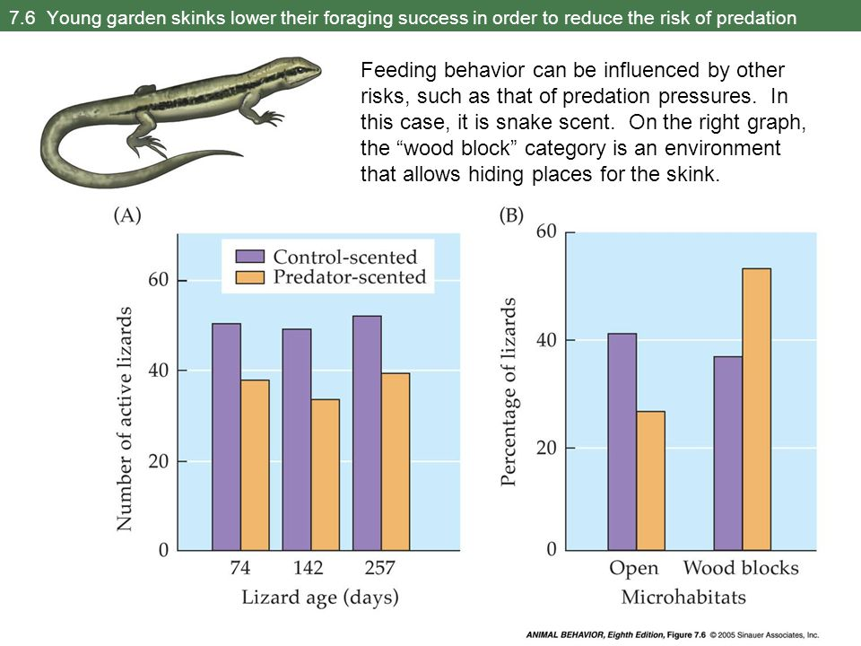 7.6 Young garden skinks lower their foraging success in order to reduce the risk of predation Feeding behavior can be influenced by other risks, such as that of predation pressures.