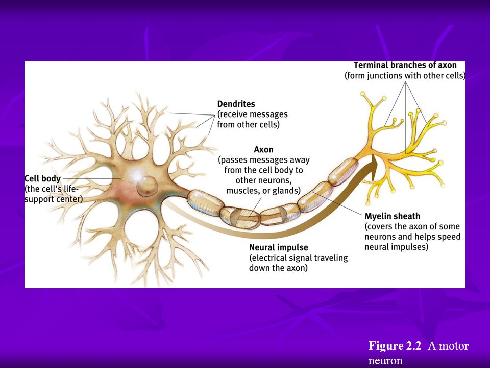 Figure 2.2 A motor neuron Myers: Psychology, Eighth Edition Copyright © 2007 by Worth Publishers
