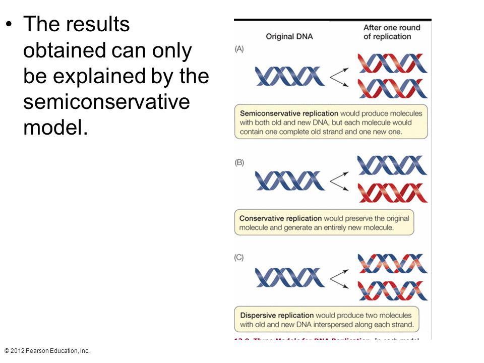 The results obtained can only be explained by the semiconservative model. © 2012 Pearson Education, Inc.