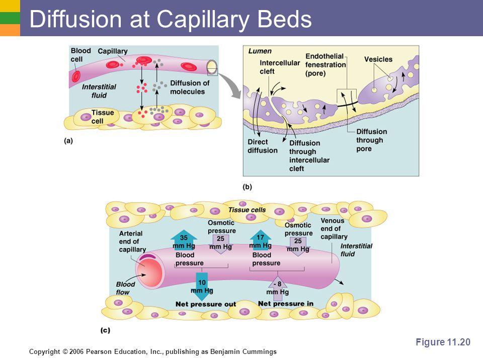 Copyright © 2006 Pearson Education, Inc., publishing as Benjamin Cummings Diffusion at Capillary Beds Figure 11.20